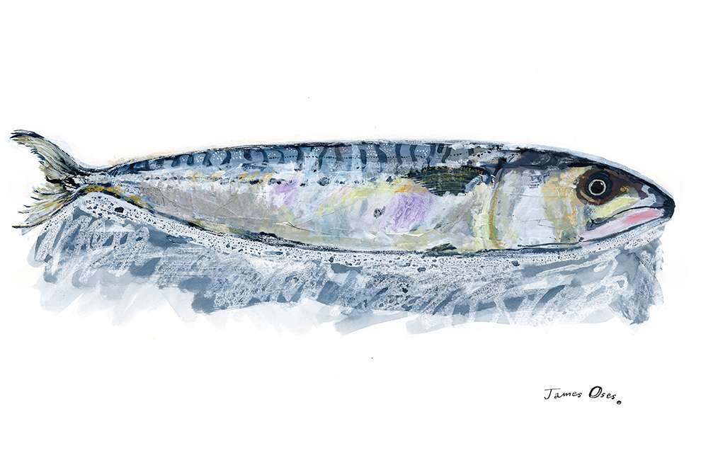 James Oses, Watercolour illustration of a fish
