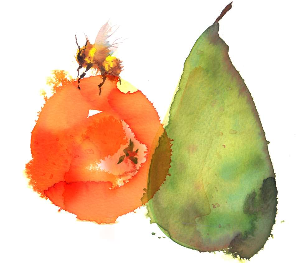 Lesley Buckingham, Watercolour of a fruit, loose, ink.