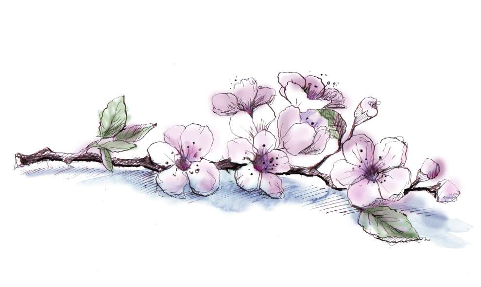 Lesley Buckingham, Watercolour illustration of a cherry blossom